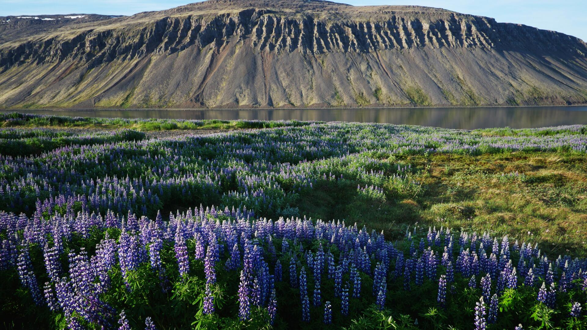 Flowers in Iceland