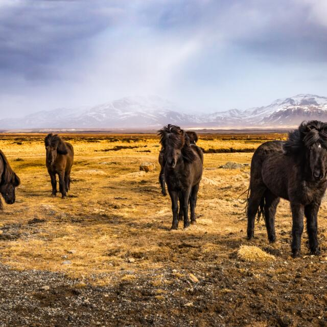 Black Iceland horses and landscape